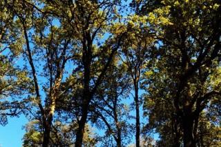 Medio Ambiente subvencionará a retirada de eucalipto en 675 hectáreas de Rede Natura