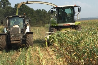 Gandeiros do Deza comezan a ensilar o millo para salvalo da seca e dos xabaríns