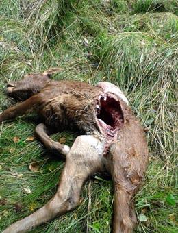 Quinto ataque do lobo este ano nunha granxa de Lalín
