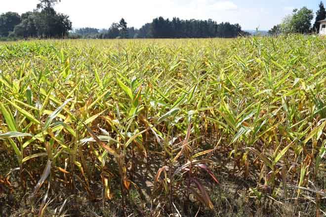 Piden que os seguros de millo e de pastos se adapten á realidade de Galicia