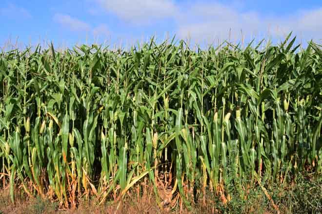 Prevén que a colleita de millo forraxeiro baixe un 10% pero con boa calidade