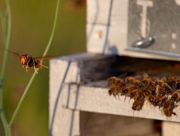Inician un estudo sobre o impacto da Vespa velutina nos insectos polinizadores