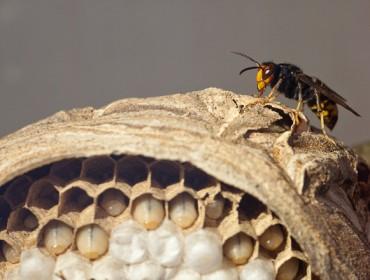 """""""Los nidos de vespa velutina también se deben retirar en invierno"""""""
