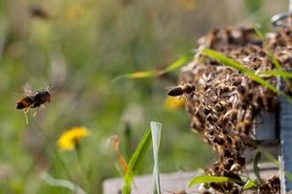 Como prepararse para reducir os danos da vespa velutina na colmea?