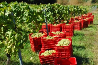 Unións reclama una subida del precio de la uva en la provincia de Ourense