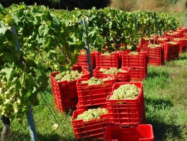 Unións reclama unha subida do prezo da uva na provincia de Ourense