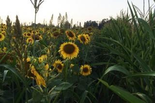 Forraxes de verán e cambio climático: alternativas para as explotacións de leite