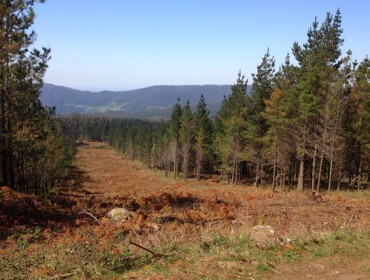 Este é o monte que vén: regulación do eucalipto e promoción de coníferas e castiñeiros