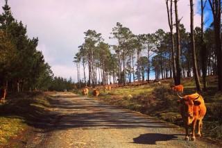 Medio Rural prevé que na primavera se dea por rematado o brote de tuberculose bovina na Serra da Capelada