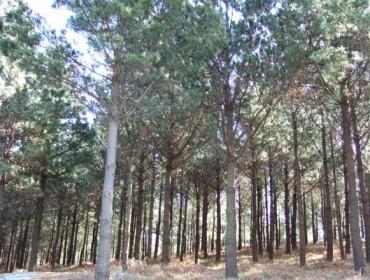 Recomendaciones para lograr pinares más resistentes al cambio climático