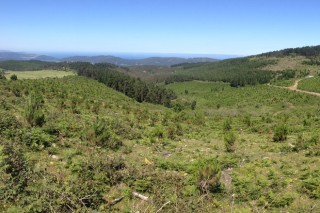Axudas para o coidado das plantacións forestais subvencionadas