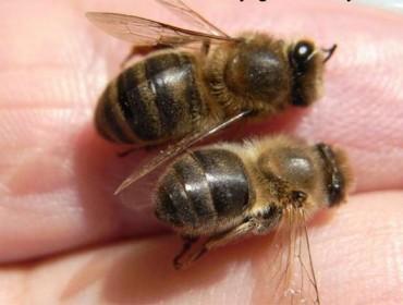 A importancia do pole na alimentación das abellas
