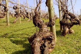 Valdesil, viños que expresan o 'terroir' de Valdeorras