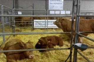Ganderías de Rubia Galega premiadas en Expolugo-A Rural
