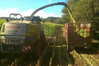 ¿Cómo influye la altura de corte del maíz en su valor nutritivo y en el rendimiento lechero?