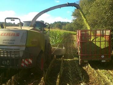 Recomendacións para un bo picado do millo forraxeiro