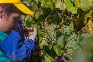 """Monterrei finaliza unha vendima """"excelente"""" con 4,47 millóns de quilos de uva"""