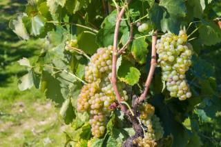 Enervin®, a nova familia de produtos para combater o mildiu en viñedo