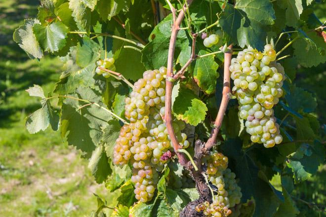 ARAW®: un produto que garante a perfecta conservación das uvas ata a vendima e cun prazo de seguridade de 3 días