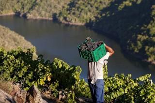 Ribeira Sacra finaliza a vendima cunha colleita de 5,57 millóns de quilos