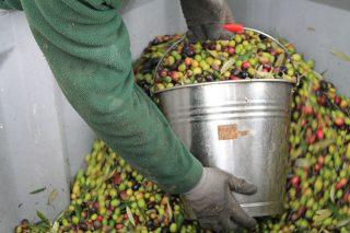 Aceites Abril aumenta un 20% a colleita de olivas para o seu Aceite 100% galego