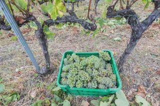 """Valdeorras finaliza a vendima cun 29% menos de uva pero de """"excelente calidade"""""""