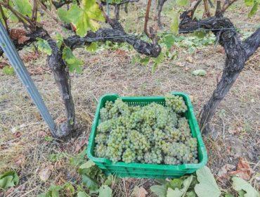 Valdeorras amplía el horario de entrega de la uva en esta vendimia para ciertos casos