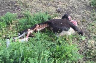 Cuarta baixa polos lobos nunha granxa de Rodeiro en 6 meses