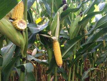 Enfermidades que afectaron ao millo e aos cereais en Galicia en 2017
