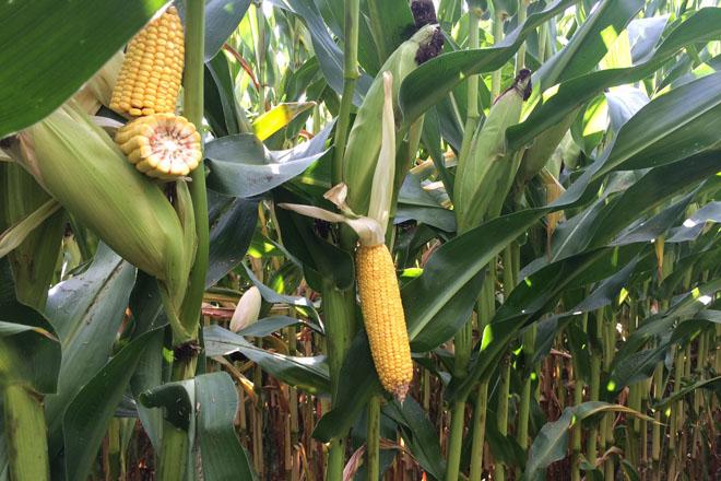 Resultados dos ensaios do Ciam coas variedades de millo forraxeiro 2017