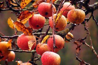 Recomiendan hacer un último tratamiento de cobre en los manzanos y perales
