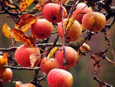 Xornadas de fruticultura esta semana en Coristanco