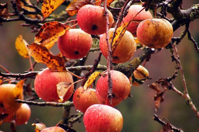 Recomendan facer un último tratamento de cobre nas maceiras e pereiras