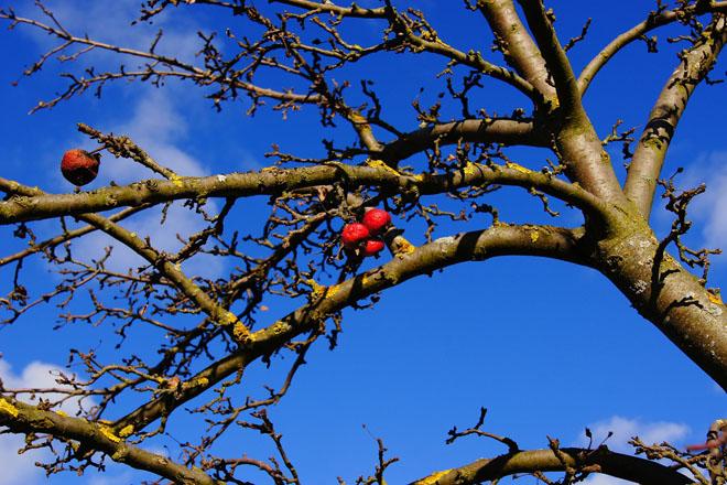 Consellos para tratar froiteiras danadas polo temporal