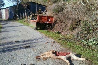 Convocadas as axudas por danos de lobo no 2017
