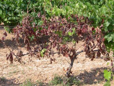 As enfermidades da madeira en viñedo (I): síntomas e prevención