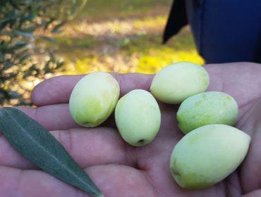 O catálogo mundial da oliveira incorpora dúas variedades autóctonas de Galicia