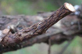 Areeiro recomenda vixiar nos viñedos a presenza de ácaros e a excoriose