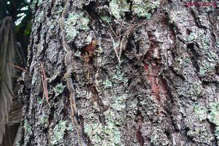 Areeiro advierte de que la procesionaria del pino adelanta su ciclo por la sequía