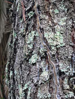 Procesionaria, la 'gripe' de los pinos