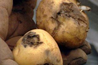 Medidas para frear a expansión da avelaíña guatemalteca da pataca