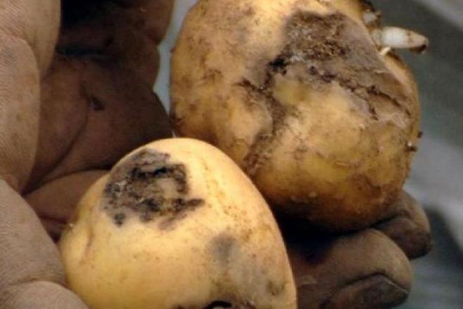 Lugares onde declarar as plantacións de patacas nos concellos afectados pola couza