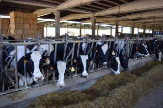 Fixado o importe das axudas asociadas por vacún de leite e vacas nutrices