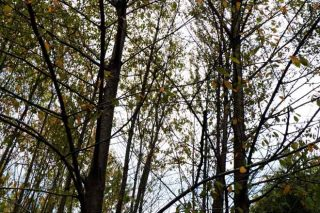 Lourizán mellora a cerdeira galega para promover o seu uso forestal