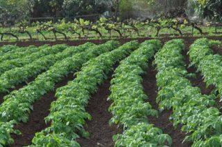 ¿Como loitan en Canarias contra a avelaíña guatemalteca da pataca?