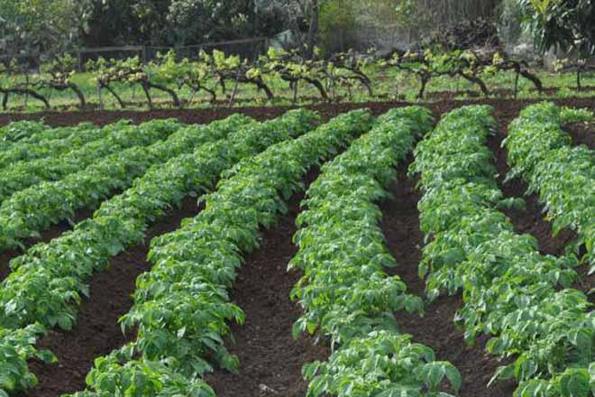 A Xunta avisa que empezará a sancionar as plantacións ilegais de pataca nos concellos afectados pola couza