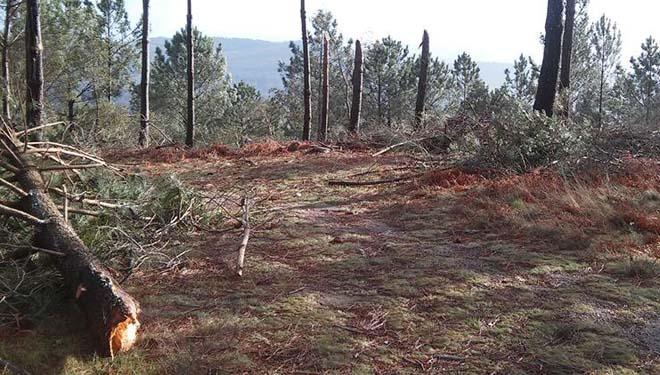 Piñeiros rachados polo temporal. / Imaxe: Comunidade de Montes do Rosal.