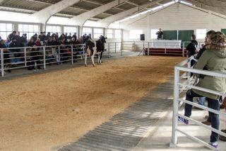 26 vacas y novillas Frisonas se subastarán este sábado en Sarria