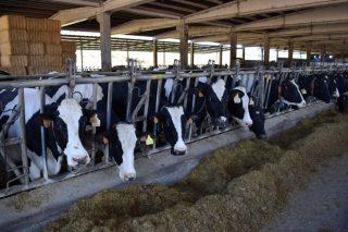 Cal é a dieta típica das explotacións lácteas galegas?