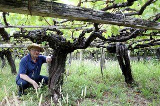 A IXP Viño de Barbanza e Iria aumenta os rendementos autorizados e incorpora a variedade Merenzao